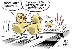 """Wirtschaft und Tierschutz: Kükenschreddern bleibt """"übergangsweise"""" erlaubt"""